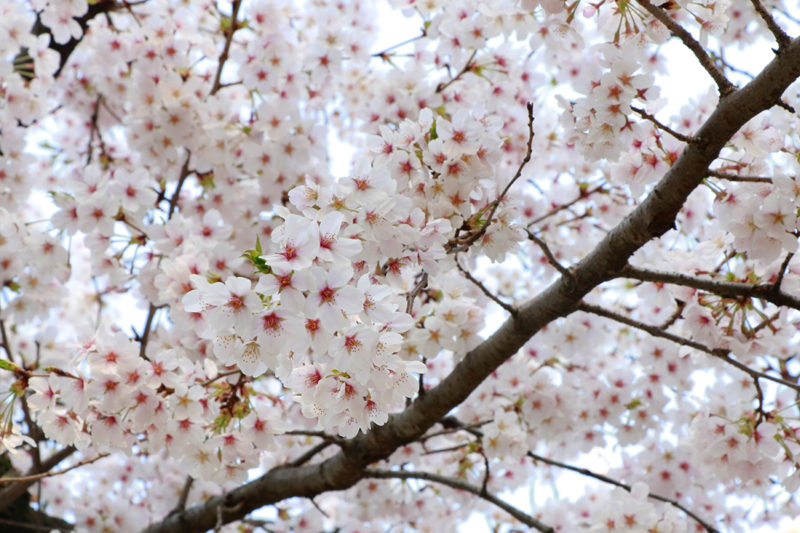 spring-2018-ueno-park-2