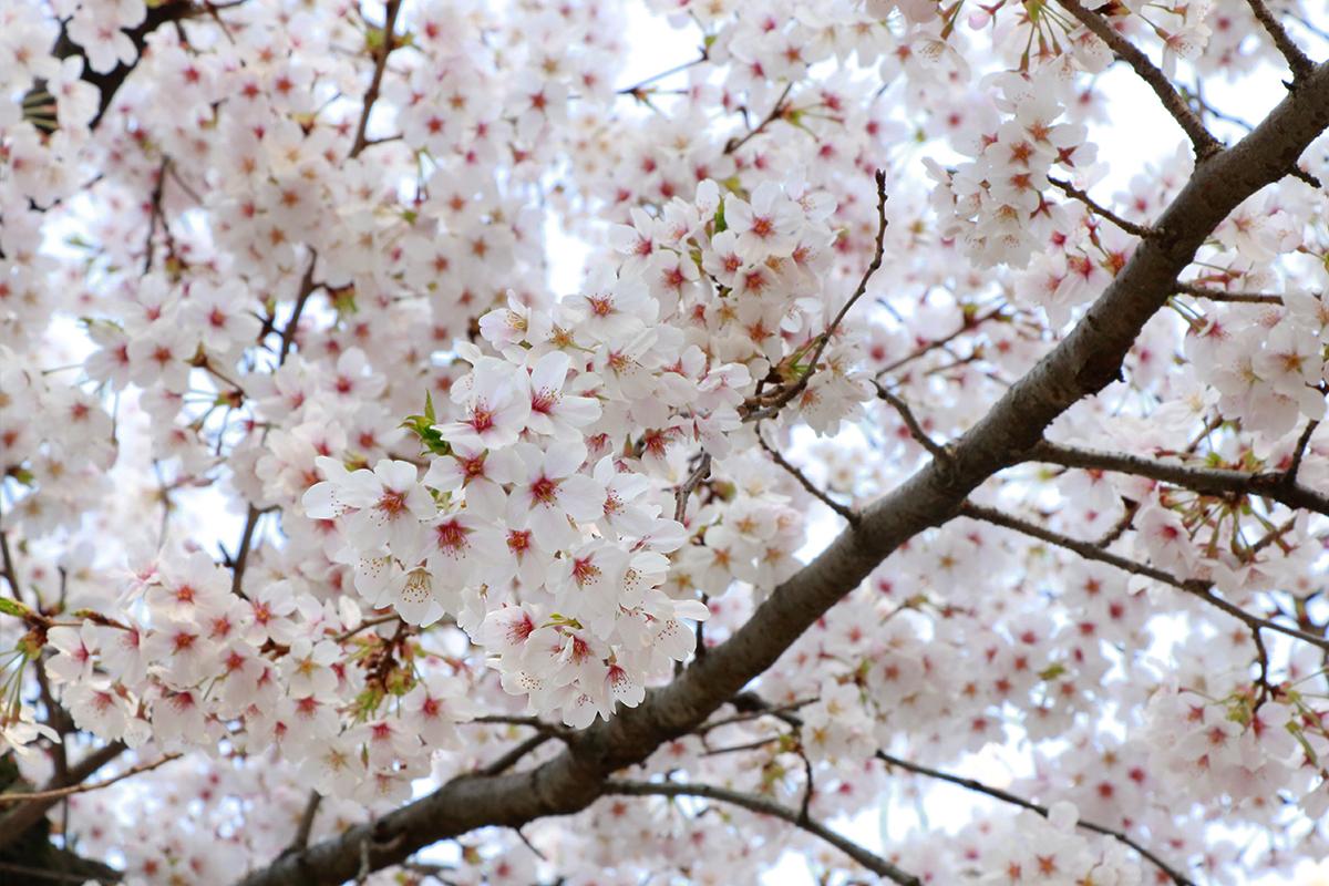 Japan Cherry Blossom Forecast 2021 - Ueno Park