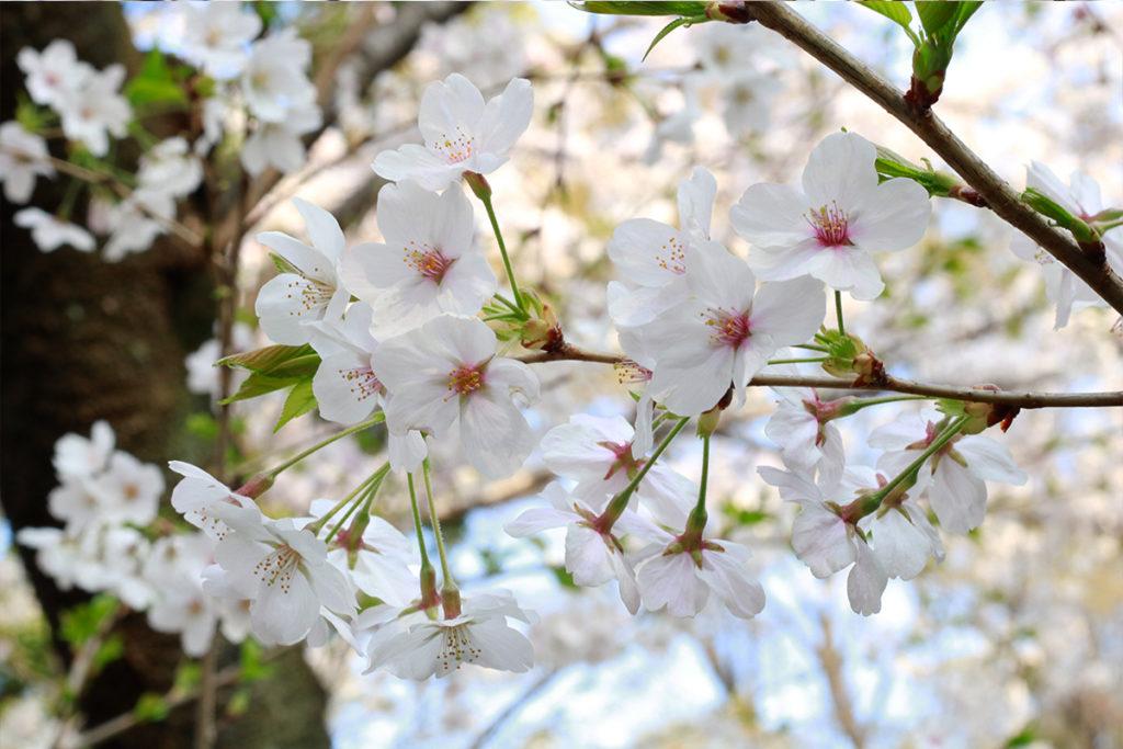 spring-2018-ueno-park-3