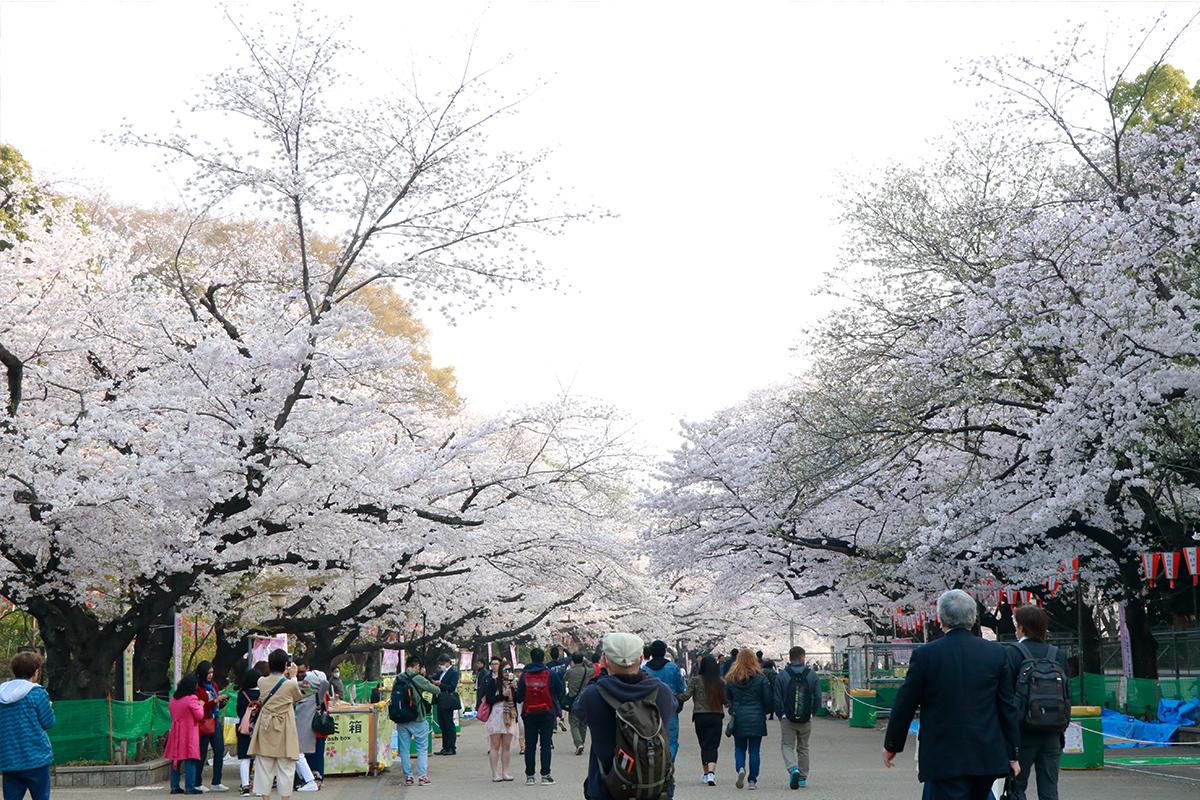 Japan Cherry Blossom Forecast 2019 - Ueno Park