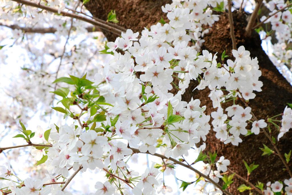 spring-2018-ueno-park-7