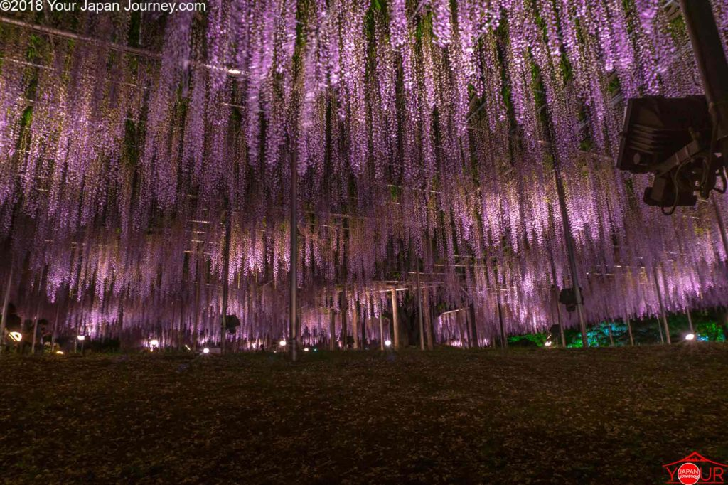 150 Year Old Purple-Pink Wisteria Tree