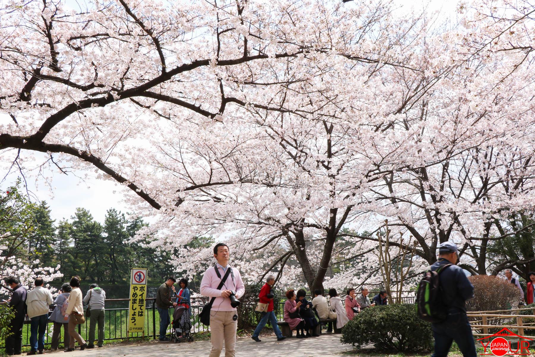 Japan Cherry Blossom Forecast 2019 - Chidorigafuchi Park