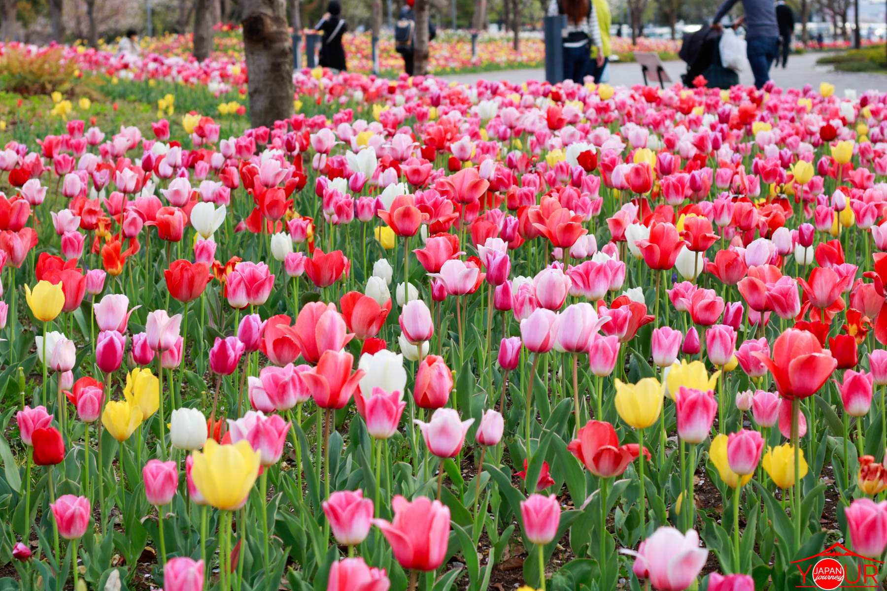 Japan Cherry Blossom Forecast 2021 - Gundam Unicorn Odaiba