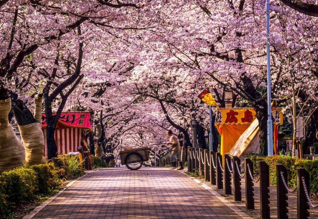 Cherry Blossom Forecast 2019 - Aoyama Cemetery