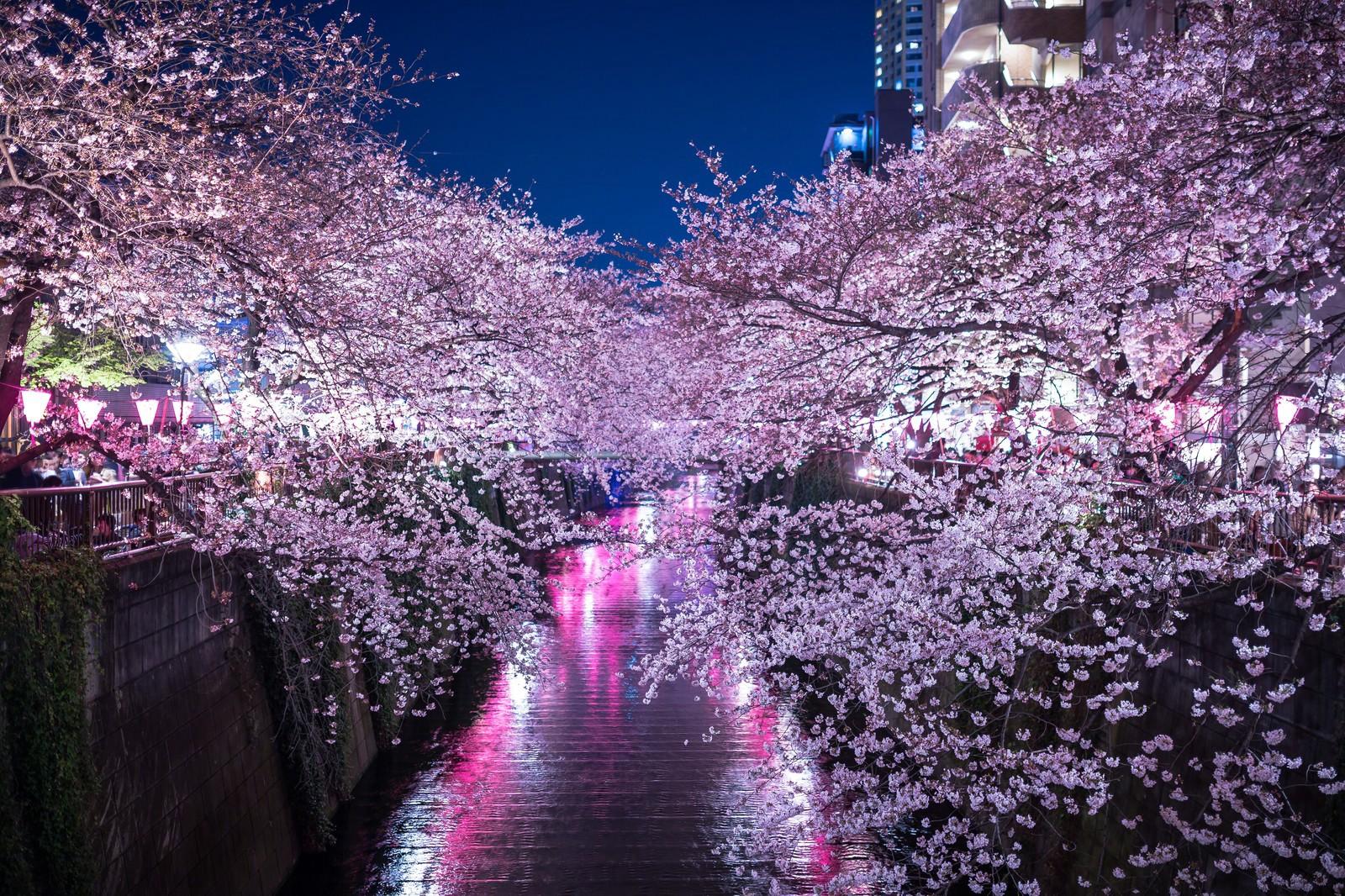 Cherry Blossom Forecast 2019 - Meguro River