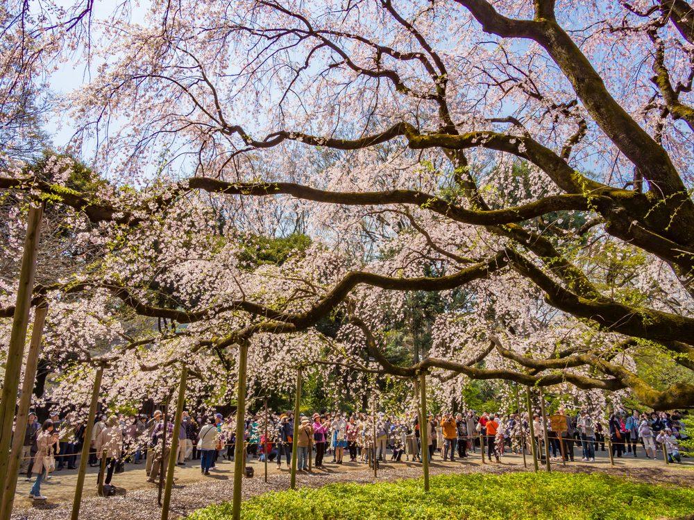Cherry Blossom Forecast 2019 - Rikugien Garden