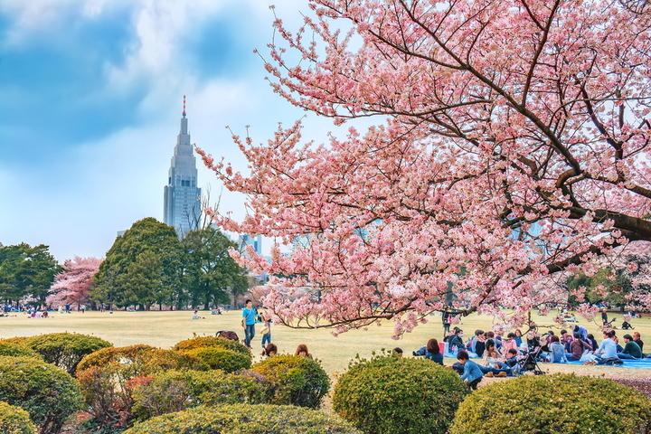 Cherry Blossom Forecast 2019 - Shinjuku Gyoen