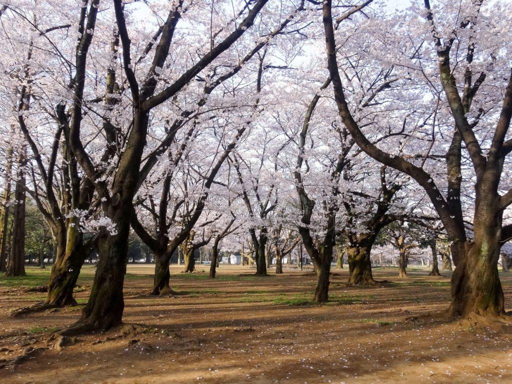 Cherry Blossom Forecast 2019 - Yoyogi Park