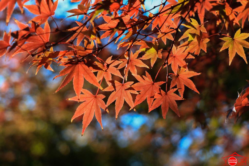 Autumn Color Status - Koishikawa Korakuen