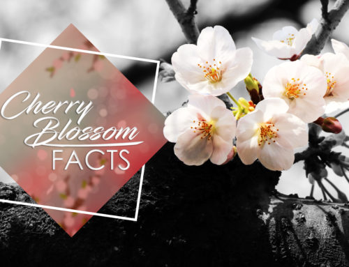 Japan's Cherry Blossom Facts