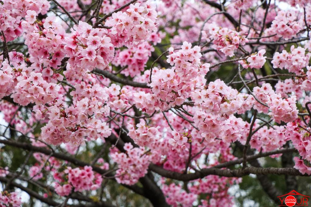 Spring 2019 Ueno Park - Koishikaw Korakuen