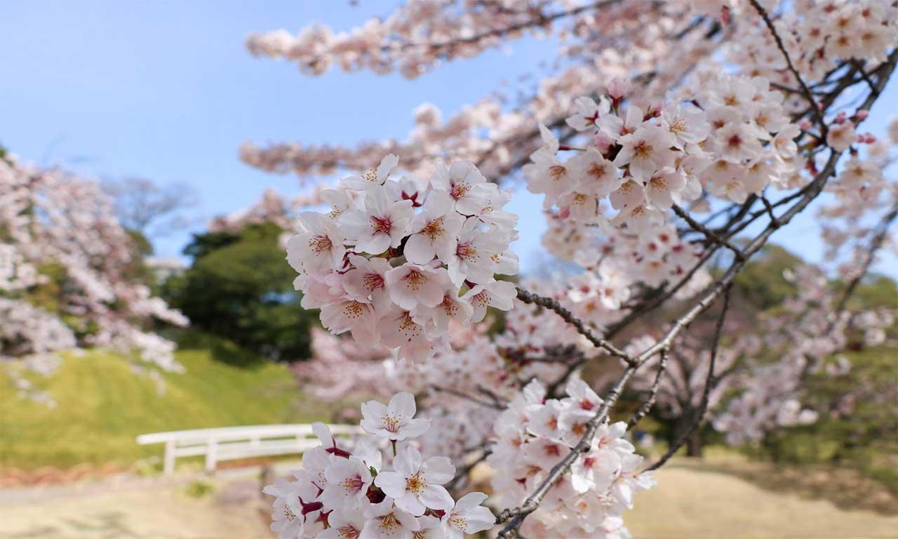 Your Japan Journey Sakura 01